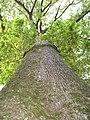 Foret hermitain arbre remarqua.JPG