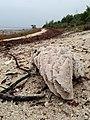 Fossil Coral Specimen - panoramio.jpg
