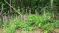 Foxgloves by bridleway on Farnham Heath - geograph.org.uk - 1352218.jpg