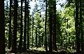Frühlingswald im Nationalpark Hunsrück-Hochwald 02.jpg