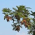 Fraxinus excelsior RF.jpg