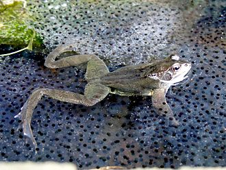 Offspring - A frog in frogspawn