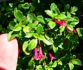 Fuchsia microphylla ssp aprica 2.jpg
