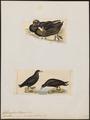 Fulmarus conspicillatus - 1700-1880 - Print - Iconographia Zoologica - Special Collections University of Amsterdam - UBA01 IZ17900124.tif