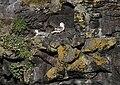 Fulmarus glacialis-pjt.jpg