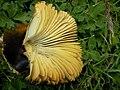 Fungi6655.JPG