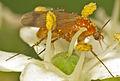 Fungus gnat (Leia fascipennis) (15386073396).jpg