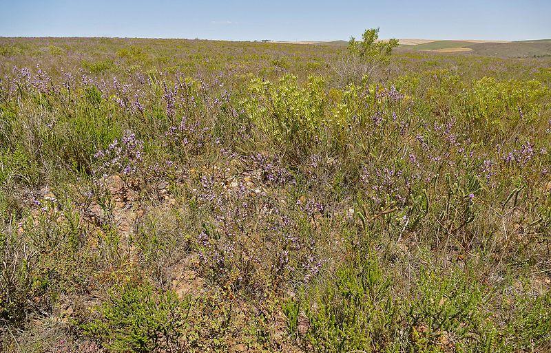 File:Fynbos Vegetation (32018427823).jpg