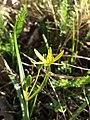 Gagea pratensis subsp. transversalis sl1.jpg
