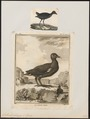 Gallinula chloropus - 1700-1880 - Print - Iconographia Zoologica - Special Collections University of Amsterdam - UBA01 IZ17500201.tif
