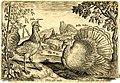 Gallus cornutus Adriaen Collaert.jpg