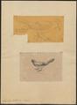 Garrulus lidthi - 1700-1880 - Print - Iconographia Zoologica - Special Collections University of Amsterdam - UBA01 IZ15700019.tif
