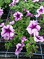 Garten-Petunie lila weiß.JPG