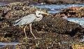 Garza azulada (Ardea herodias), Las Bachas, isla Santa Cruz, islas Galápagos, Ecuador, 2015-07-23, DD 12 ver II.jpg