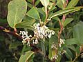 Gaultheria fragrantissima at Mannavan Shola, Anamudi Shola National Park, Kerala (1).jpg