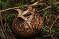 Geastrum sp. (38038678331).jpg