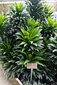 Genf-Botanik 10 Dracaena deremensis.JPG