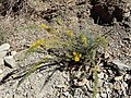 Genista scorpius kz07.jpg