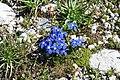 Gentiana verna, Bessans - img 22575.jpg