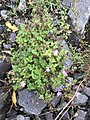 Geranium robertianum 55076541.jpg