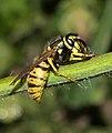 German Wasp - Vespula germanica (15378493276).jpg