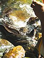 Giant Eel named Morea.jpg