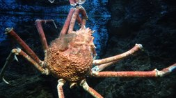 Ficheiro:Giant Japanese Spider Crab, Shedd Aquarium, Chicago.webmhd.webm