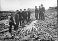 Giant squid in Scotland (2).jpg