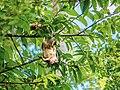 Giant squirrel eating custard apple, hanging upside down 01.jpg
