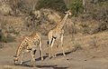 Giraffe, Giraffa camelopardalis at Mahone Loop, Punda Maria, Kruger National Park, South Africa (20820358365).jpg