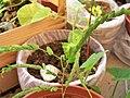 Gleditsia triacanthos, leaves folded.jpg