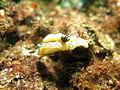 Glossodoris atromarginata at Lembeh strait.JPG