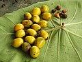 Gmelina arborea Fruit seed (3) 01.jpg