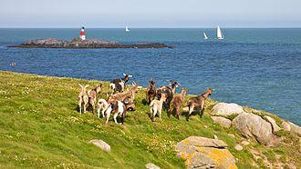 Dalkey Island - Image: Goats at Dalkey Island
