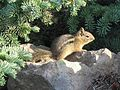 Golden-mantled ground squirrel, Spermophillus lateralis - Flickr - GregTheBusker.jpg