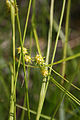 GoldenSedge fws2 (9069547657).jpg