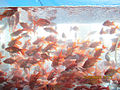 Goldfische.jpg