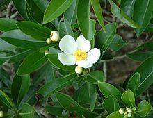 Gordonia Lasianthus Wikipedia