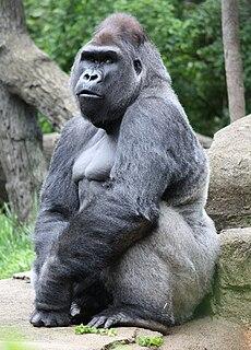 Gorilla 498.jpg