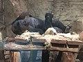 Gorilla in Warsaw ZOO.jpg