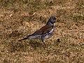 Gråtrost (Turdus pilaris) (4682854000).jpg