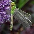 Grüne Libelle 3.jpg