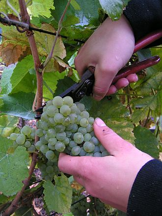 Chenin blanc - Producers will often harvest Chenin blanc by hand in a succession of pickings known as tries. The grapes may be harvested as whole clusters or individual berries.