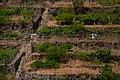 Grape plantation in Manarola, Cinque Terre, Italy 2.jpg