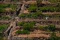Grape plantation in Manarola, Cinque Terre, Italy 2.jpg