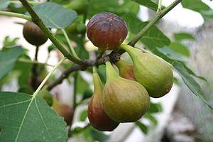 « Grappe » de figues