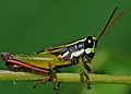 Grasshopper Nymph (6933148752).jpg
