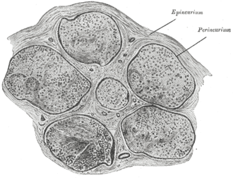 Nerve fascicle - Transverse section of human tibial nerve.