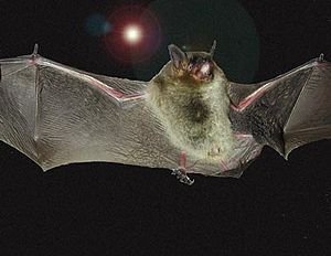 Near-threatened species - Image: Gray Bat USACE