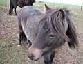 Grazing Pony.jpg